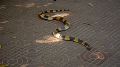 Venomous snake of the family of asps, Bungarus fasciatus, on the pavement Stock Footage