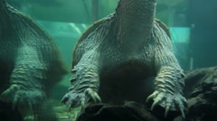 Chelydridae  Turtle head above water Stock Footage
