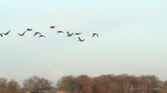 Geese flying  over national park de groote peel netherlands Stock Footage