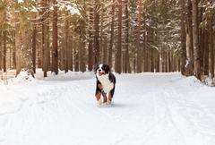 Mountain dog running in snow Kuvituskuvat