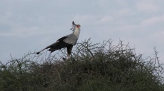 Secretary bird (Sagittarius serpentarius) on nest Stock Footage