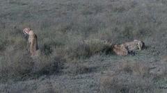 Cheetah's eating on prey Stock Footage