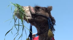 Camel chewing green grass against the sky- Stock Footage