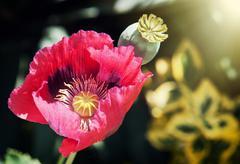 Corn poppy red flower in sun rays - stock photo