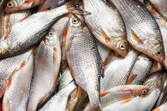 Catch of fish Stock Photos