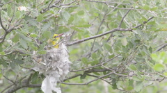 Golden Oriole (Oriole oriolus) on nest Stock Footage