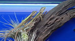 two lizards on tree - stock footage