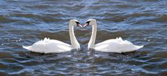 two swans in love - stock photo