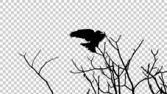 Crow on a branch - alpha Stock Footage