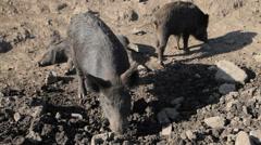 Wild Pigs Stock Footage