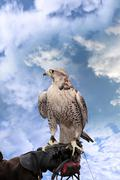 Falcon perched on leather gloved hand Stock Photos