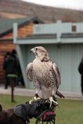 falcon perched on trainers gloved hand - stock photo