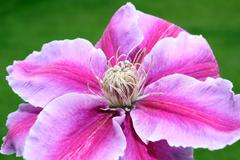 clematis flower with green background - stock photo
