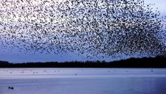 Murmuration of Starlings Over Lake Stock Footage