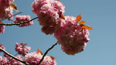 Tracking around pink cherry blossom, slow motion Stock Footage