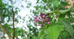 Purple Lilac bloom shaken by wind Stock Footage