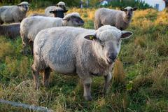Sheep grazing in the meadow Stock Photos