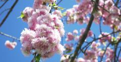 Sakura in flower bloom Stock Footage