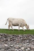 lone cow feeding on the coastal green grass - stock photo