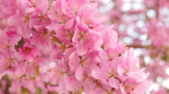 Pink blossoms blowing in storm wind Stock Footage
