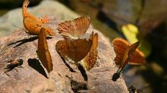 Orange Large yeoman butterfly on floor Stock Footage
