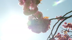 Pink cherry blossom against the sun, slow motion Stock Footage