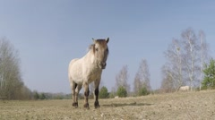 A Przewalski Horse on the pasture Stock Footage