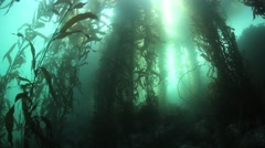 Sunlight and Giant Kelp Stock Footage