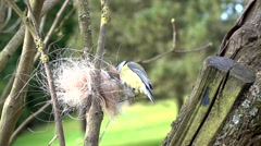 Blue tit collects horse hair for it´s nest Stock Footage