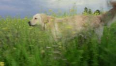 Retriever in yellow field. Stock Footage