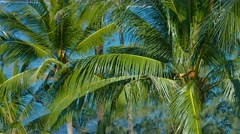 Cluster of Palm Trees, Swaying in a Breeze in Thailand Stock Footage