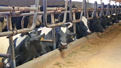 Black and white cows in a farm cowshed Stock Footage