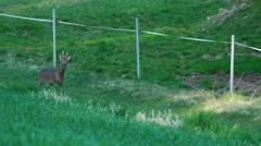 Roe deer - springtime Stock Footage
