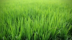 Green rice field Stock Footage