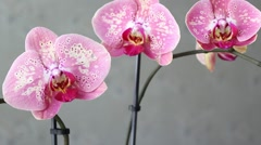 Beautiful pink orchid Stock Footage