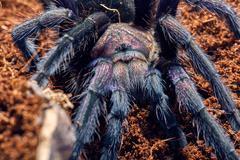 tarantula Phormictopus sp purple - stock photo