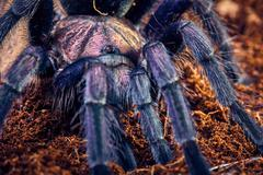 Tarantula Phormictopus sp purple Stock Photos