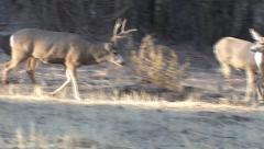 Buck Follows Doe in Herd and Intimidates Younger Buck Stock Footage