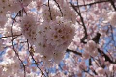 Close Up Pink Cherry Blossoms - stock photo