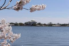 Thomas Jefferson Monument with Cherry Blossoms - stock photo