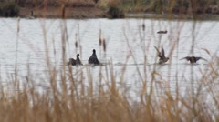 Stock Video Footage of black coot - Fulica atra