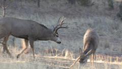 Mule Deer Buck Walks by Doe He Is Going To Court Stock Footage