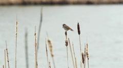 Bluethroat - Luscinia svecica Stock Footage