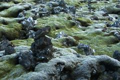 Durable moss on volcanic rocks in Iceland Stock Photos