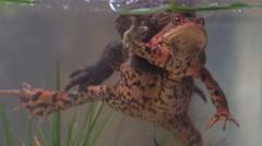 European toad - Bufo bufo Stock Footage