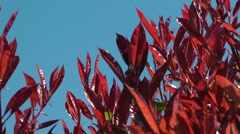 Bright red leaves deep blue sky gentle breeze movement Stock Footage