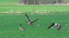 Stock Video Footage of Canada goose - Branta canadensis