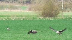 Canada goose - Branta canadensis Stock Footage