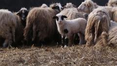 Lamb in a sheep flock Stock Footage