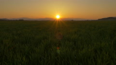 AERIAL: Flying over wheat field at golden sunset - stock footage